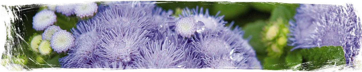 Растения против комари - Ageratum