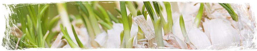 Растения против комари - Garlic