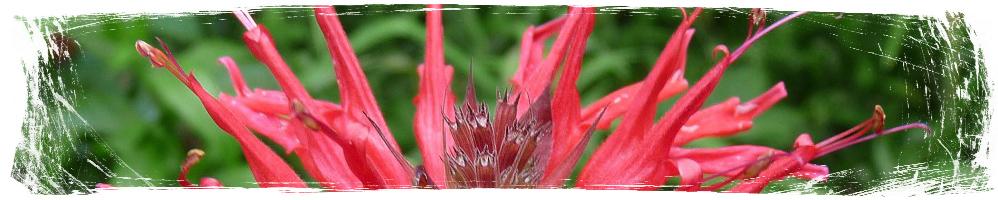 Растения против комари - Monarda