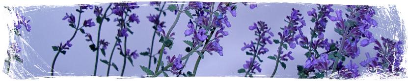 Растения против комари - Nepeta