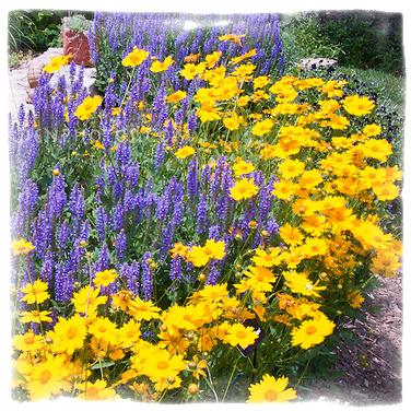 Комбинация от многогодишни цветя - Coreopsis  & Salvia