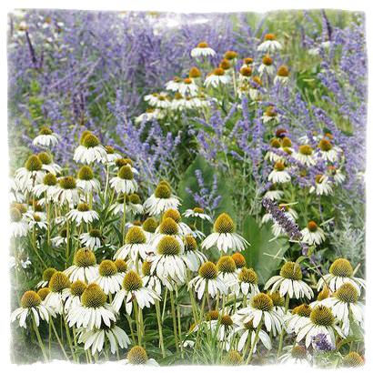 Комбинация от многогодишни цветя Echinacea & Russian Sage