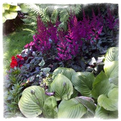Комбинация от многогодишни цветя - Hosta & Astilbe