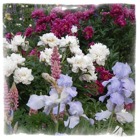 Комбинация от многогодишни цветя - Lupine & Peony