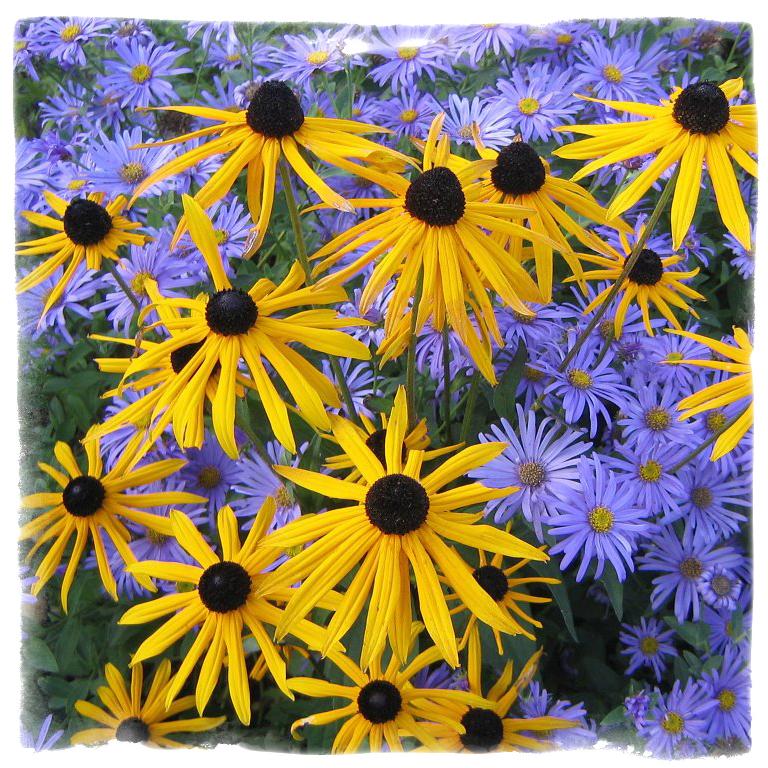 Комбинация от многогодишни цветя - Rudbeckia & Aster