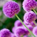 Пролетни цветя - Лук