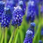 Пролетни цветя - Кукувиче грозде