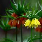 Пролетни цветя - Ходжово лале