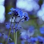 Пролетни цветя - Незабравка