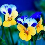 Пролетни цветя - Теменужка