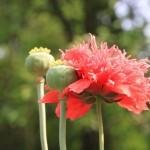 Пролетни цветя - Мак