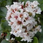 Пролетни цветя - Бергения