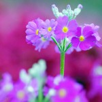 Пролетни цветя - Иглика