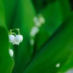Пролетни цветя - Момина сълза