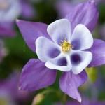 Пролетни цветя - Кандилка