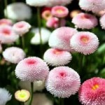 Пролетни цветя - Паричка