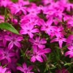 Пролетни цветя - Флокс