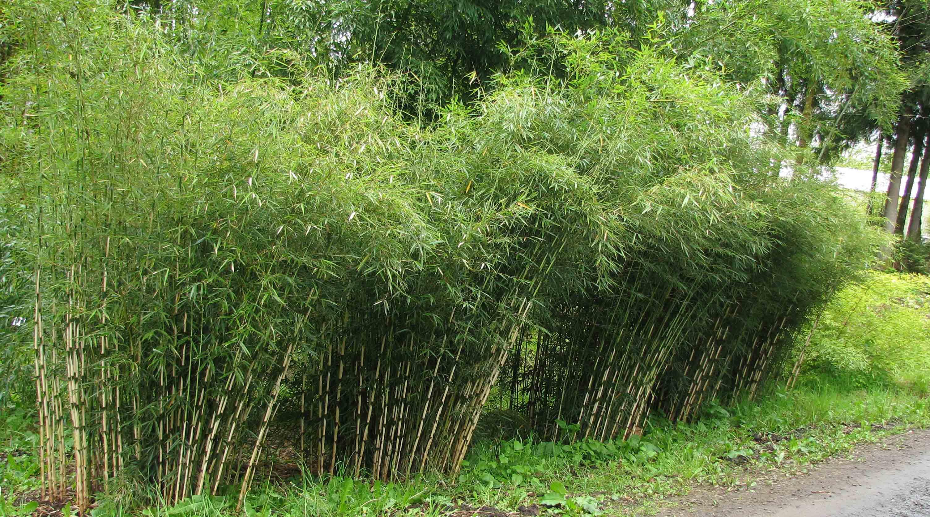 Жив плет - Bambusa