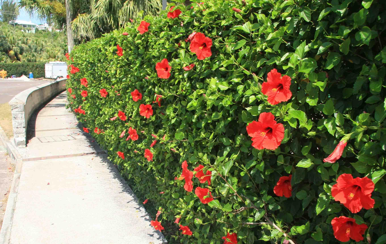 Жив плет - Hibiscus siriacus - Дървовидна ружа