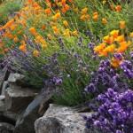 Скални кътове и алпинеуми - калифорнийски мак и лавандула