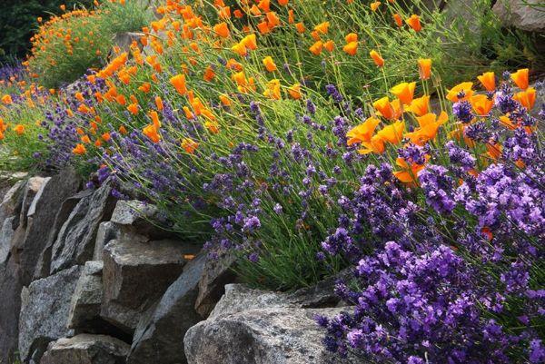 Калифорнийски мак и лавандула в скален кът