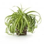 Полезни интериорни растения - Хлорофитум