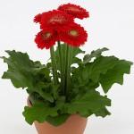 Полезни интериорни растения - Стаен гербер