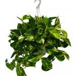 Полезни интериорни растения - Дяволски бръшлян
