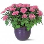 Полезни интериорни растения - Хризантема
