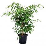 Полезни интериорни растения - Фикус
