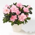 Полезни интериорни растения - Азалия