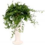Полезни интериорни растения - Бръшлян