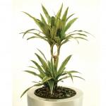 Полезни интериорни растения - Драцена