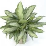 Полезни интериорни растения - Аглаонема