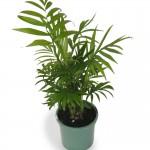 Полезни интериорни растения - Бамбукова палма