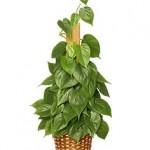Полезни интериорни растения - Филодендрон