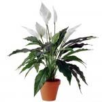 Полезни интериорни растения - Спатифилум